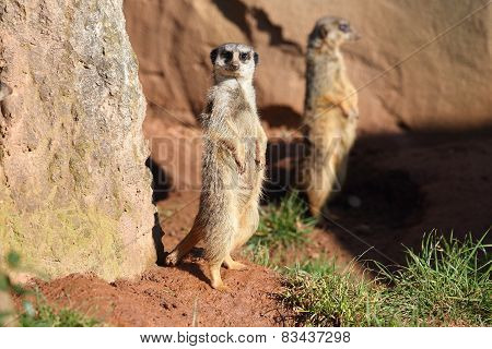 cute suricate