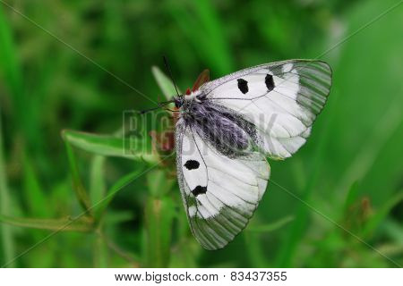 Butterfly on the clover flower