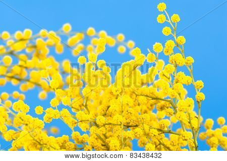 Blossoming Mimosa, A Close Up
