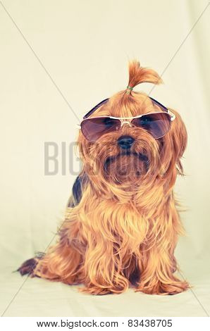 Sitting Portrait Of Dog In Sunglasses