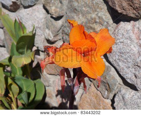 Canna lily blossom