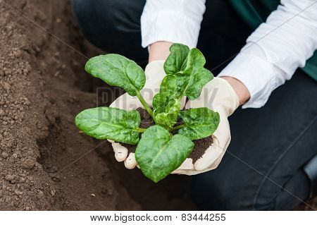 Woman hands holding a spinach plant