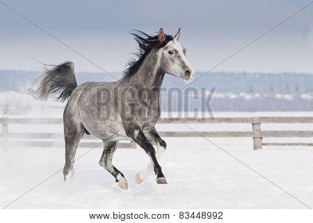 Grey Arab Horse With White Head Runs Trot In Winter Snowy Field