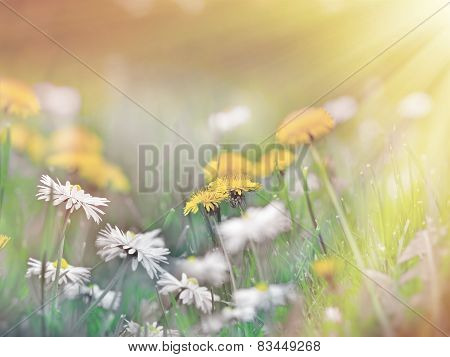 Dandelion flower and daisy flower
