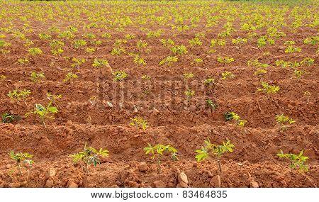 Row Of Cassava Tree.