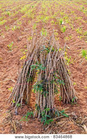Row Of Cassava Tree In Field