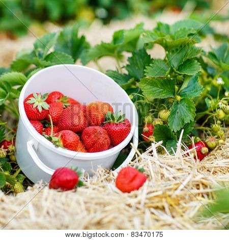 Bucket With Fresh Ripe Strawberries Standing On  Farm