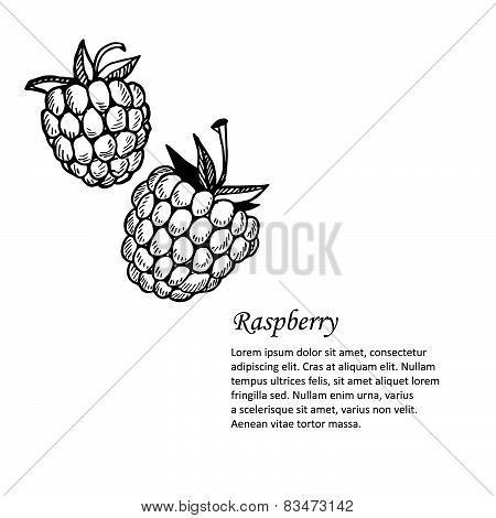 Hand-drawn Vector Illustration. Card Or Banner With Raspberry. Isolated On White Background.