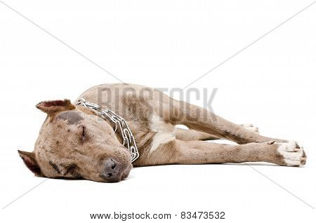 Portrait of a sleeping pit bull