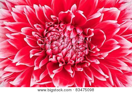 Dahlia, Red, White Colored Flower Head, Studio Shooting, Background