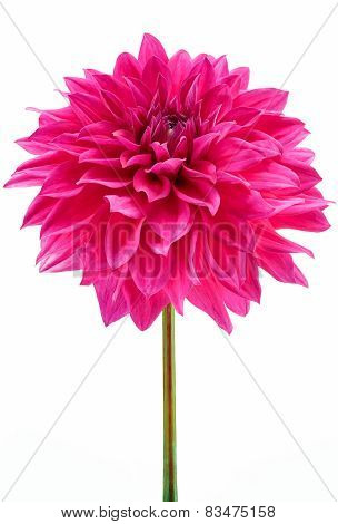 Dahlia, Pink Colored Flower Head With Green Stem