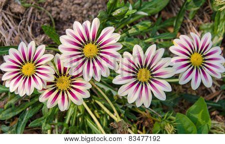 Gazania Sunny Flower