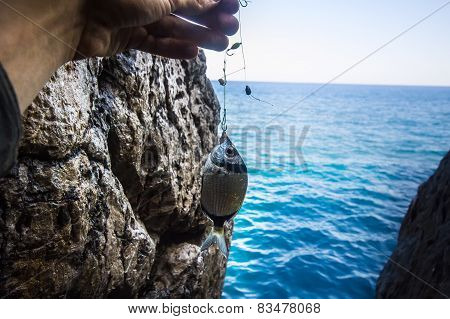 Rock Sea Fishing Sargus  Mediterranean