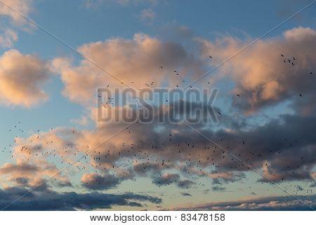 Large Flock Of Gulls