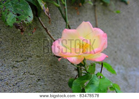 Single yellow rose,tinged with pink