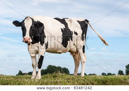 Black And White Spotted Cow Standing On Grass