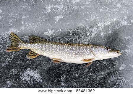 Northern Pike Laying On The Ice