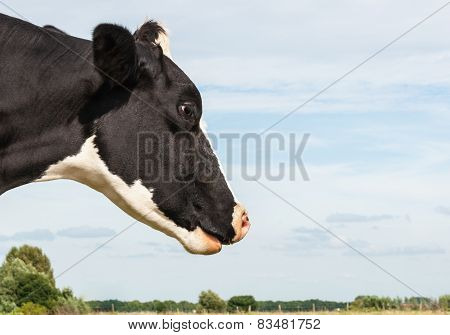 Black And White Spotted Cow From Close