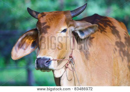 Curious Ox