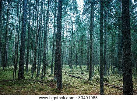 Dark Pine Tree Forest Landscape, Karelia, Russia