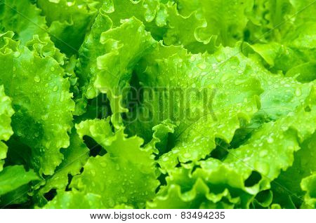 Leaves Of Salad Closeup