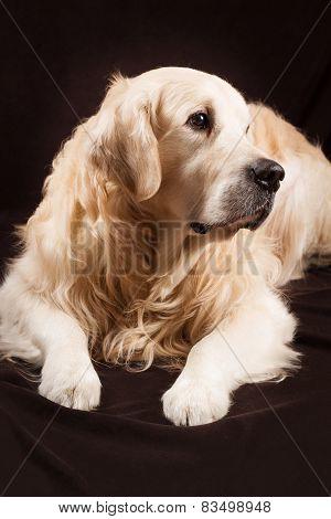 purebred golden retriever dog on brown background