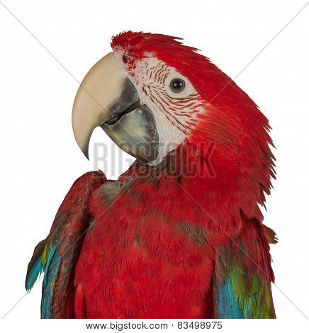 Colorful Macaw Isolated On The White Background