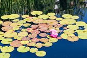 image of lillies  - A brilliant magenta water lilly in a dark pond with lilly pads - JPG