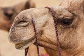 image of camel  - Camels in Thar desert Jaisalmer city in Rajasthan state of India - JPG