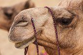 stock photo of camel  - Camels in Thar desert Jaisalmer city in Rajasthan state of India - JPG