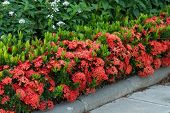 foto of plant species  - Red Ixora coccinea hedge is a species of flowering plant in the Rubiaceae family - JPG