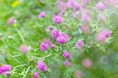 stock photo of red clover  - Flowering red clover in a meadow close - JPG