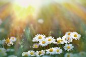 picture of daisy flower  - Beautiful little daisy flowers in meadow  - JPG