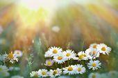 image of daisy flower  - Beautiful little daisy flowers in meadow  - JPG