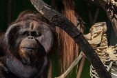 stock photo of ape  - Dead and alive ape closeup photo in color  - JPG