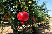 foto of fruit-juice  - Pomegranate fruit orchard in Israel - JPG