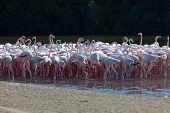stock photo of greater  - Greater Flamingoes at the Ras al Khor Wildlife Sanctuary in Dubai United Arab Emirates - JPG