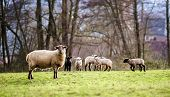 pic of lamb  - Cute lambs with adult sheeps in the winter field of grass - JPG