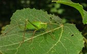stock photo of cricket insect  - A Speckled Bush - JPG