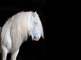 stock photo of big horse  - The White Shire horse with black background - JPG