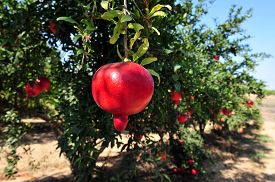 picture of pomegranate  - Pomegranate fruit orchard in Israel - JPG