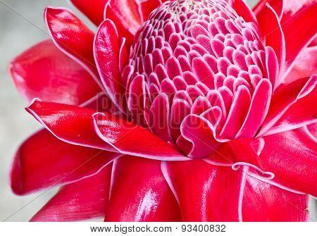 Red Vanda Flowers In Thailand