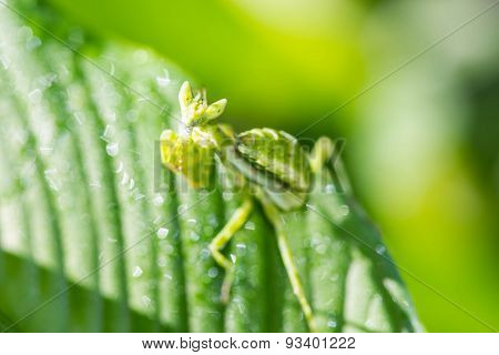 Praying Mantis (mantis Religiosa) On Green Leaf