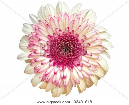 colorful dahlia flower isolated on white