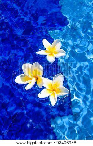 Beautiful Plumeria Flowers in Blue Water