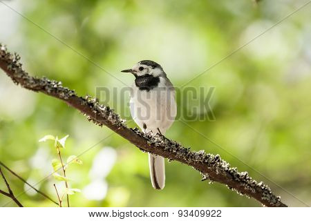 White wagtail bird sits on tree branch