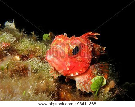 Close Up Of A Mediterranean Scorpion Fish Scorpaena Notata