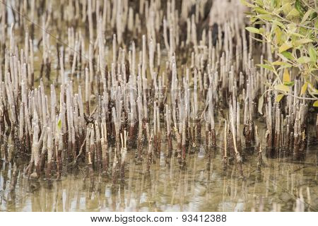 Roots Of A White Mangrove Tree In A Tropical Lagoon