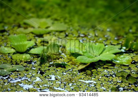 Duckweed Covered On The Water Surface