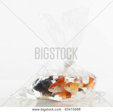 plastic bag full of goldfishes